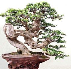 Galery Bonsai Klasik I Indoor Bonsai, Bonsai Plants, Bonsai Garden, Ikebana, Plantas Bonsai, Bonsai Styles, Single Tree, Miniature Trees, Nature Tree