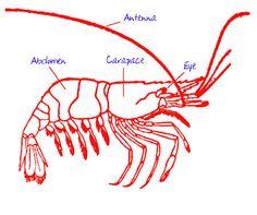 Lobster Anatomical Illustration
