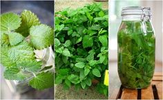 The list of reasons to love lemon balm is practically endless. After seeing some of lemon balm's benefits, you'll want to start growing some in your garden!