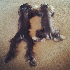 Schnauzer love...LOL.. ...so perfect!!!