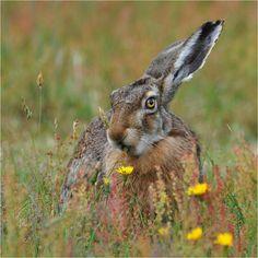 94. Hare * (bij schilderen gebruikt achter rechts van midden) * Wild Rabbit, Jack Rabbit, Bunny Rabbit, Beautiful Creatures, Animals Beautiful, Awkward Animals, Rabbit Breeds, Animal Antics, Animal Ears