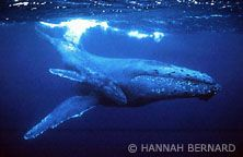 The Humpback Whale is the fifth largest whale in the world and the fourth most endangered.
