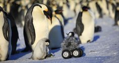 TROJAN PENGUIN An emperor penguin and chick watch a disguised rover roll up to them. The rover helps collect data without stressing the animals. ~~ Y. Le Maho et al/Nature Methods 2014