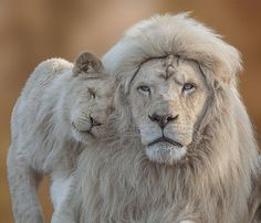 """White Lion with cub""