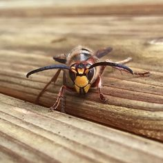Met this hornet in our garden today.. I guess she was looking for a winter habitat  #hornet #hornisse #bee #biene #wasp #wespe #insect #insekt #garden #outdoors #nature #november #animal #instahornet #nofilter #fiftyshadesofnature #fiftyshades_of_nature_ #naturelovers #naturephotography #iphonography #pictureoftheday