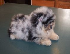 Blue Merle Pomeranian                                                                                                                                                     More