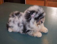 adorable merle Pomeranian
