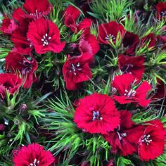 Sweet William January, Spring, Sweet, Flowers, Plants, Flora, Plant, Royal Icing Flowers, Flower