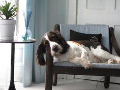 English Springer Spaniel on a gorgeous chair. Hello, pretty baby. <3