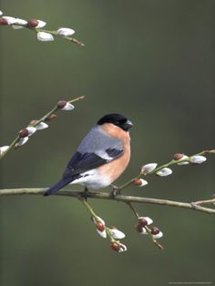 Bullfinch, Male Perched on Pussy Willow, UK
