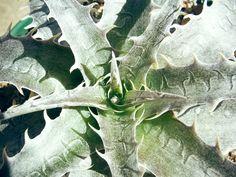 Dyckia Goehringii Seedling × Arizona F2