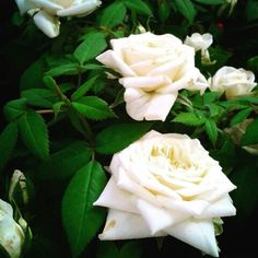 White rose #roses #picsoftheday #garden