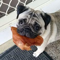 """Breakfast Anyone? #pug #puglife #puppiesoninsta #Benji #akachook #goldcoastpugs #bestanimal #puppy #sleepyhead #squishyface #lazypug #furbaby #lovehim"" Photo taken by @angus_british_bulldog on Instagram, pinned via the InstaPin iOS App! http://www.instapinapp.com (03/25/2015)"