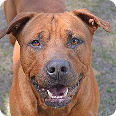 Pictures of 10310429 GEORGIE a Pit Bull Terrier Mix for adoption in Brooksville FL who needs a loving home.