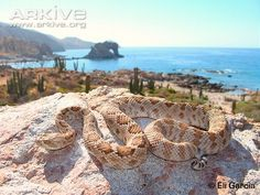The Santa Catalina Island rattlesnake/endangered  has lost its functional rattle to sneak up on its prey.