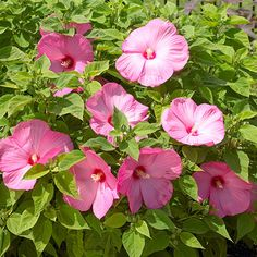 A wet, poorly drained spot in your yard could be the perfect place to plant Hardy Hibiscus! See more plants for wet soil: http://www.bhg.com/gardening/flowers/perennials/flowers-for-wet-soil/