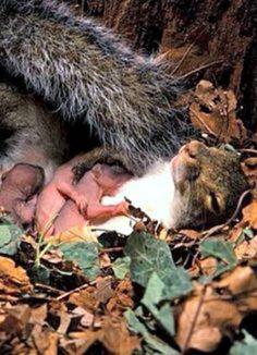 Mother squirrel & babies