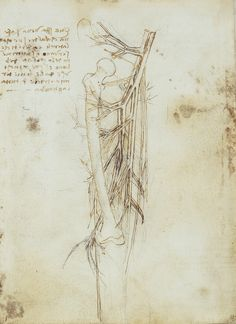 The vessels of the upper leg. Leonardo da Vinci (Vinci 1452-Amboise 1519)    #TuscanyAgriturismoGiratola