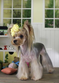 Korean Dog Grooming Style — Teacup Yorkshire Terriër