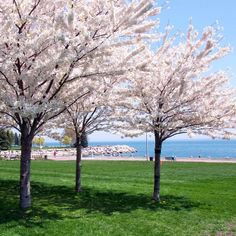 Enjoy a walk in Spencer Smith Park on the Waterfront as the Cherry Trees are in bloom. Pack a picnic lunch or visit one of the many restaurants with waterfront views while you are here.