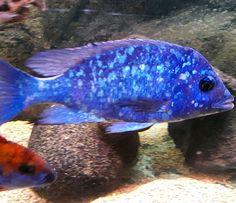 Placidochromis tanzania male