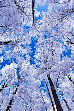 Winter frosted trees ... outstretched to the cobalt sky