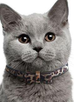 Como fazer uma coleira para gato. Ao contrário do que acontece com os cachorros, por norma os gatos não são levados a passear, pelo que não necessitam de uma coleira larga e grossa à qual se prende a trela. Aliás, os próprios gatos nã...