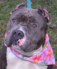 4 / 25     Petango.com – Meet DOROTHY, a 1 year Terrier, Pit Bull / Mix available for adoption in ROCHESTER, NY Contact Information Address  184 Verona Street, ROCHESTER, NY, 14608  Phone  (585) 428-7274  Website  http://www.rochesteranimalserv ices.com/  Email  AnimalServices@cityofrochester .gov