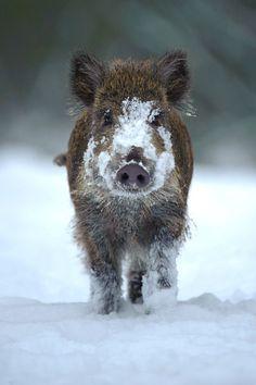 cinghiale nella neve
