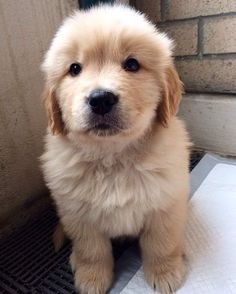 The traits we all admire about the Intelligent Golden Retriever Puppy Cute Dogs And Puppies, I Love Dogs, Doggies, Corgi Puppies, Cute Funny Animals, Cute Baby Animals, Funny Dogs, Golden Puppy, Retriever Puppy