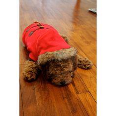 """Trenca para Perro """"Tango"""" Red - KUKA´S WORLD - Ropa y Accesorios exclusivos para Perros. Moda Canina de Diseño y Artículos para Mascotas con estilo. Designer Dog Clothes and Luxury Accessories for Pets! http://www.kukasworld.com/"""