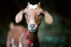 Did you know that goats can take care of maintaining your lawn?