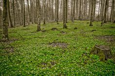 Birch trees and wood anemones by Lidia, Leszek Derda on Wood Anemone, Birch Trees, Anemones, Norway, Landscape, Plants, Scenery, Plant, Corner Landscaping