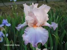 """I used to have one like this. Iris Celebration Song. (Schreiner '93) EL 37""""; S apricot-pink. F blue-lavender. Tangerine beards. Popular!"""