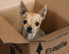 Special delivery Chihuahua