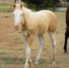 Beautiful Palomino Splash White