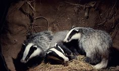 POLL: Should the Government cull badgers or vaccinate them? by Supertrooper http://focusingonwildlife.com/news/poll-should-the-government-cull-badgers-or-vaccinate-them/