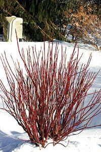 """Arctic Fire Redtwig Dogwood - Cornus-NEW-Compact/Hardy-Proven Winner-1 Quart Pot by Hirts: Dogwood. $11.99. Color of Bloom: White. Cornus 'Arctic Fire'. Hardy Zones: 3-8. Mature Height: 3-4'. Months of Bloom: Spring. Arctic FireTMRed Twig Dogwood. Cornus stolonifera 'Farrow'pp#18523. Immediate shipping. Size shipped: 4"""" pot. DOGWOOD: The Dogwood species range anywhere from groundcover, multi branched shrub or tree, or a single trunk ornamental tree form. Dogwood trees are consi..."""