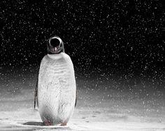 Pingüinos, extraordinarias imágenes de algunos fotógrafos muy talentosos.