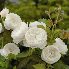 Buy rose William and Catherine (hybrid musk) Rosa 'William and Catherine ('Ausrapper') (PBR)': Delivery by Waitrose Garden in association with Crocus Rose Williams, David Austin Roses, Buy Roses, Garden Plants, Green, Envy, Garden Ideas, Delivery, Flowers