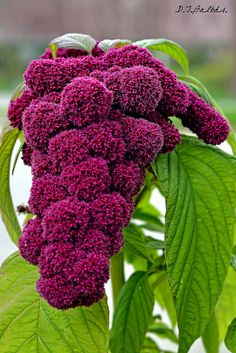 Love Lies Bleeding / Amaranthus Caudatus