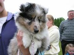 A Blue Merle Shetland Sheepdog! So cute!