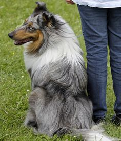 Collie | WOOFipedia, provided by the American Kennel Club