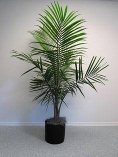majestic palm plant