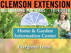 In this video from Clemson Extension, Millie Davenport takes a look at hardy evergreen ferns. #ClemsonExt100