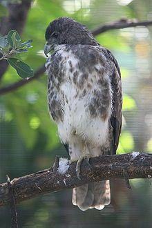 Hawai'ian Hawk (Buteo solitarius) endemic to Hawai'i , restricted to the Big Island - Pretty Birds, Beautiful Birds, Animals Beautiful, Cute Animals, Bird Pictures, Animal Pictures, Power Animal, Rare Birds, Mundo Animal