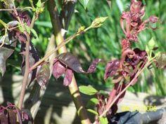 Rose Rosette Disease3 Rose Diseases, Mens Slip Ons, Rose Care, Rosettes, Beautiful Gardens, Flowers, Plants, Plant