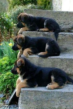 German Shepherd puppies resting and enjoying the view .