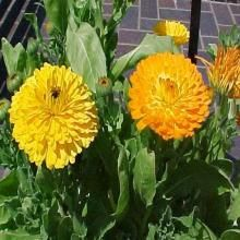 Calendula officinalis  Pot marigold is a popular annual that is grown in beds and borders for its daisy or chrysanthemum-like bright yellow to deep orange flowers which in cool climates appear over a long summer to fall bloom period.  Missouri Botanical Garden, 2013