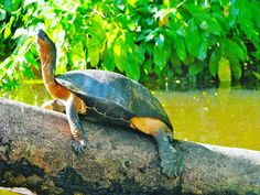 Grüne Wände des undurchdringlichen Regenwalds säumen Kanal-Ufer, wo Rotwangen-Schmuckschildkröten auf Baumstämmen ein Sonnenbad nahmen  (2009)